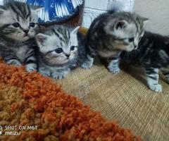 Мраморные Шотландские котята