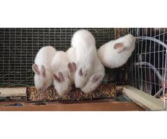 Продаются кролики...