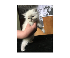 Котята экзота