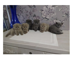 Продам шотландских котят.