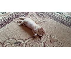 Продаётся котёнок вислоухий