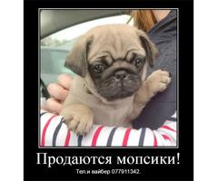 Продаются щенки мопса!